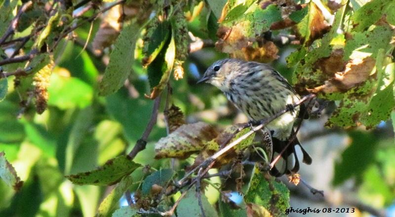 9 oiseaux chanteurs Croupi10