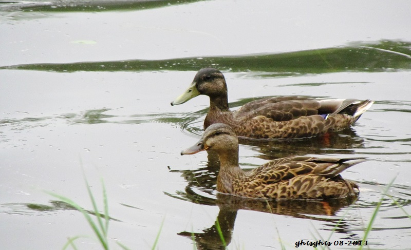 Canards mes amours !!  Img_4210