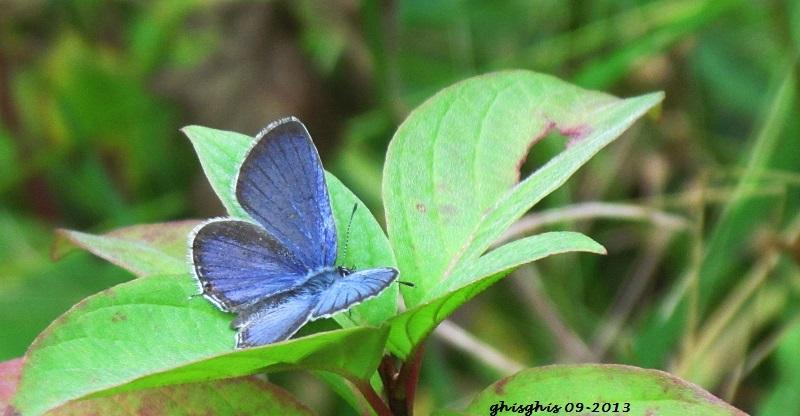 Bleu porte-queue de l'Est Img_5412