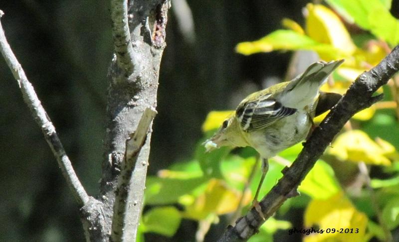 Paruline à flancs marron plumage d'automne ?? Img_5811