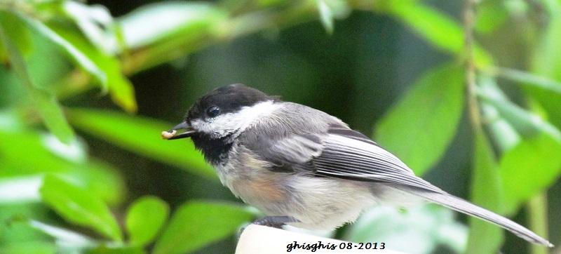9 oiseaux chanteurs Masang10
