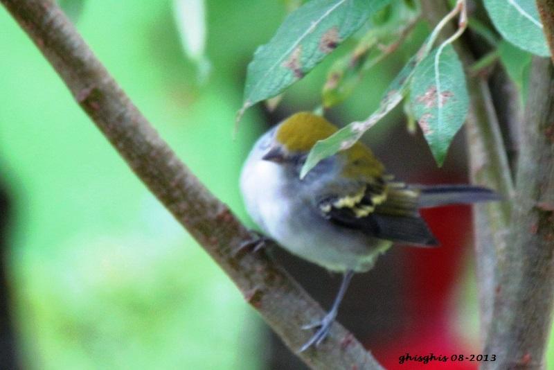 9 oiseaux chanteurs Paruli10