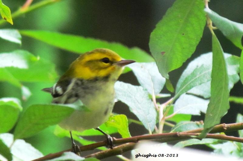 9 oiseaux chanteurs Paruli11