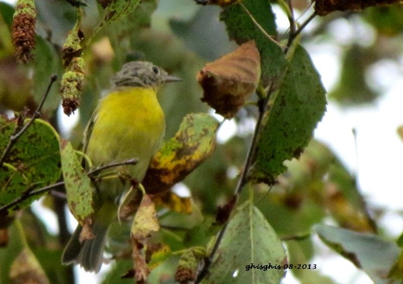 9 oiseaux chanteurs Paruli12