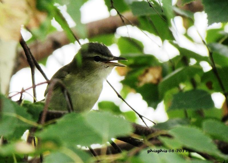 9 oiseaux chanteurs Paruli13