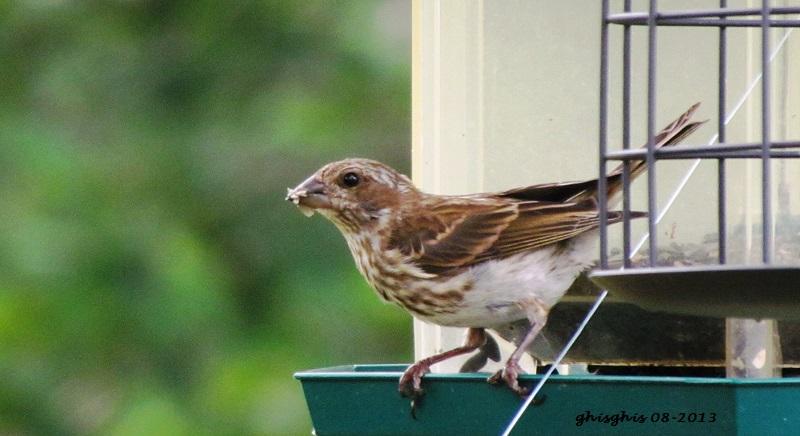 9 oiseaux chanteurs Roseli10
