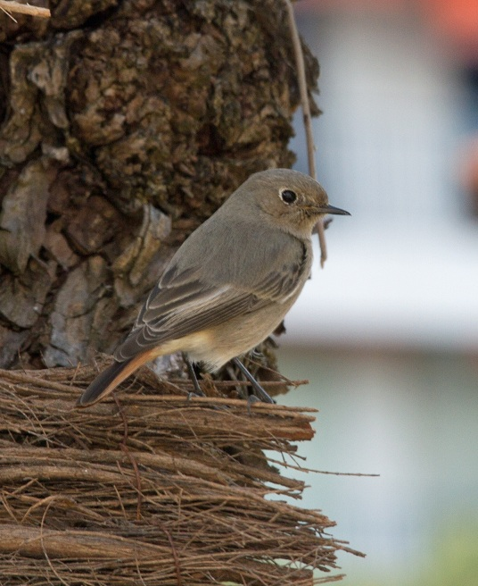 Identification de ce petit oiseau Img_5210