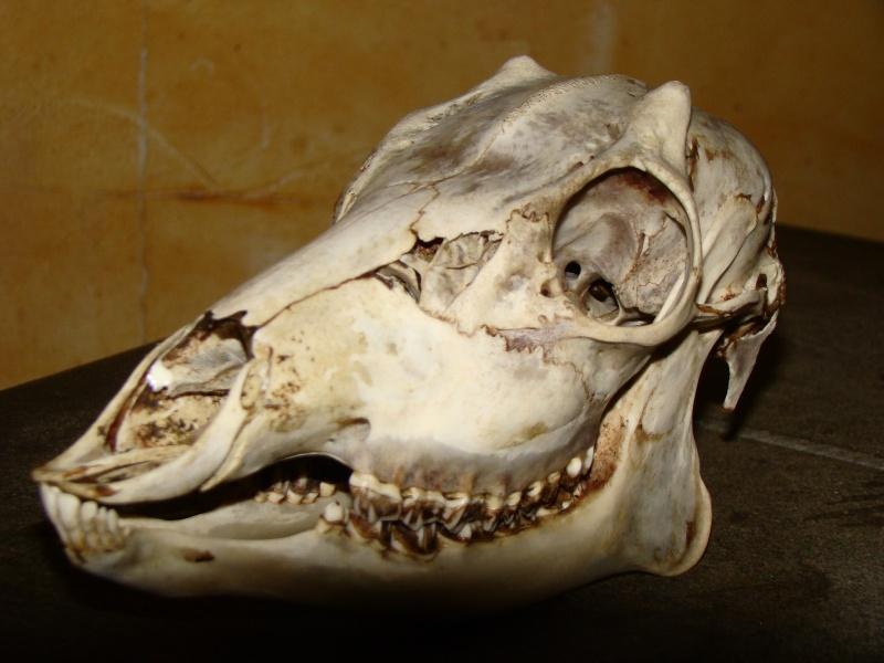 Crâne  BIZARD Dsc09612
