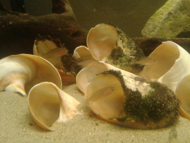 Neolamprologus similis: por fin conchícolas Rdil10