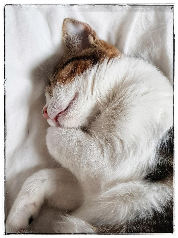 Olga, femelle type européenne tigrée noire et blanche née le 20 septemebre 2018 - Page 4 20181296