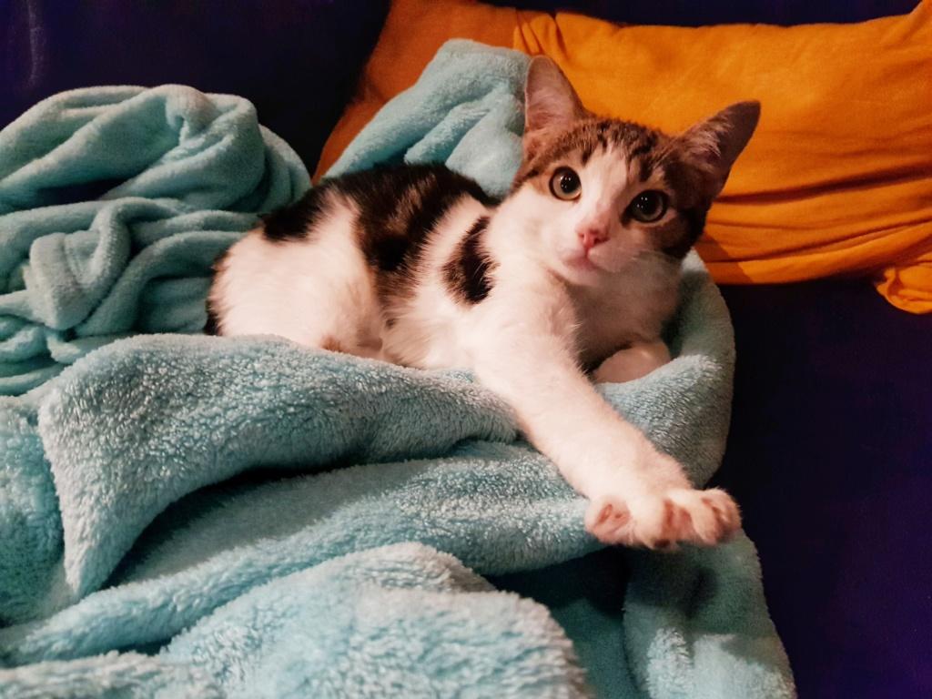 Olga, femelle type européenne tigrée noire et blanche née le 20 septemebre 2018 - Page 5 20190132