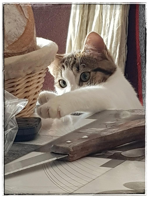 Olga, femelle type européenne tigrée noire et blanche née le 20 septemebre 2018 - Page 5 20190139