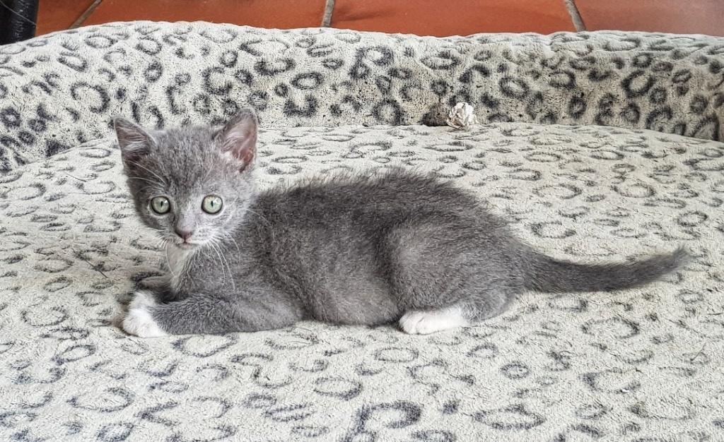 Pixie, femelle type européen grise et blanche, estimée 8 juin 2019 - Page 2 20190163