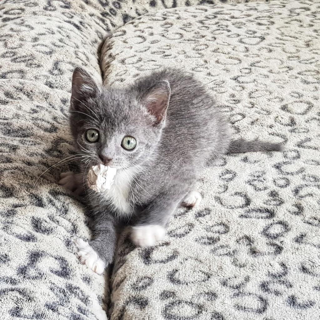 Pixie, femelle type européen grise et blanche, estimée 8 juin 2019 - Page 2 20190167