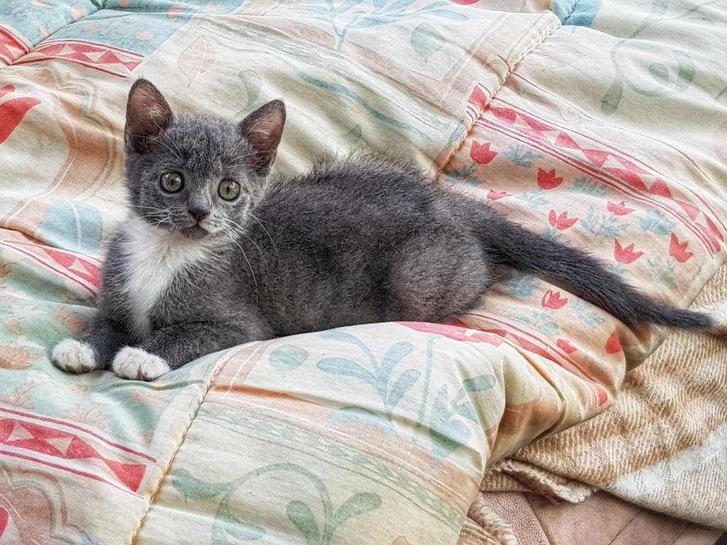 Pixie, femelle type européen grise et blanche, estimée 8 juin 2019 - Page 2 20190824