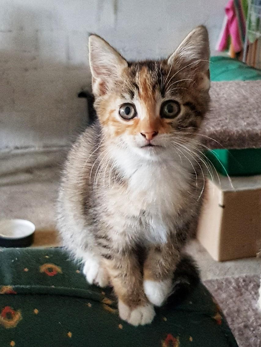 Patchouli, femelle type européen tricolore, née le 28 juin 2019 20190911