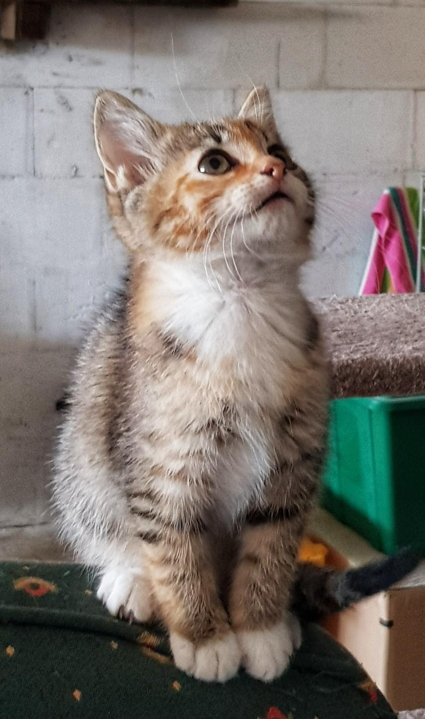 Patchouli, femelle type européen tricolore, née le 28 juin 2019 20190913
