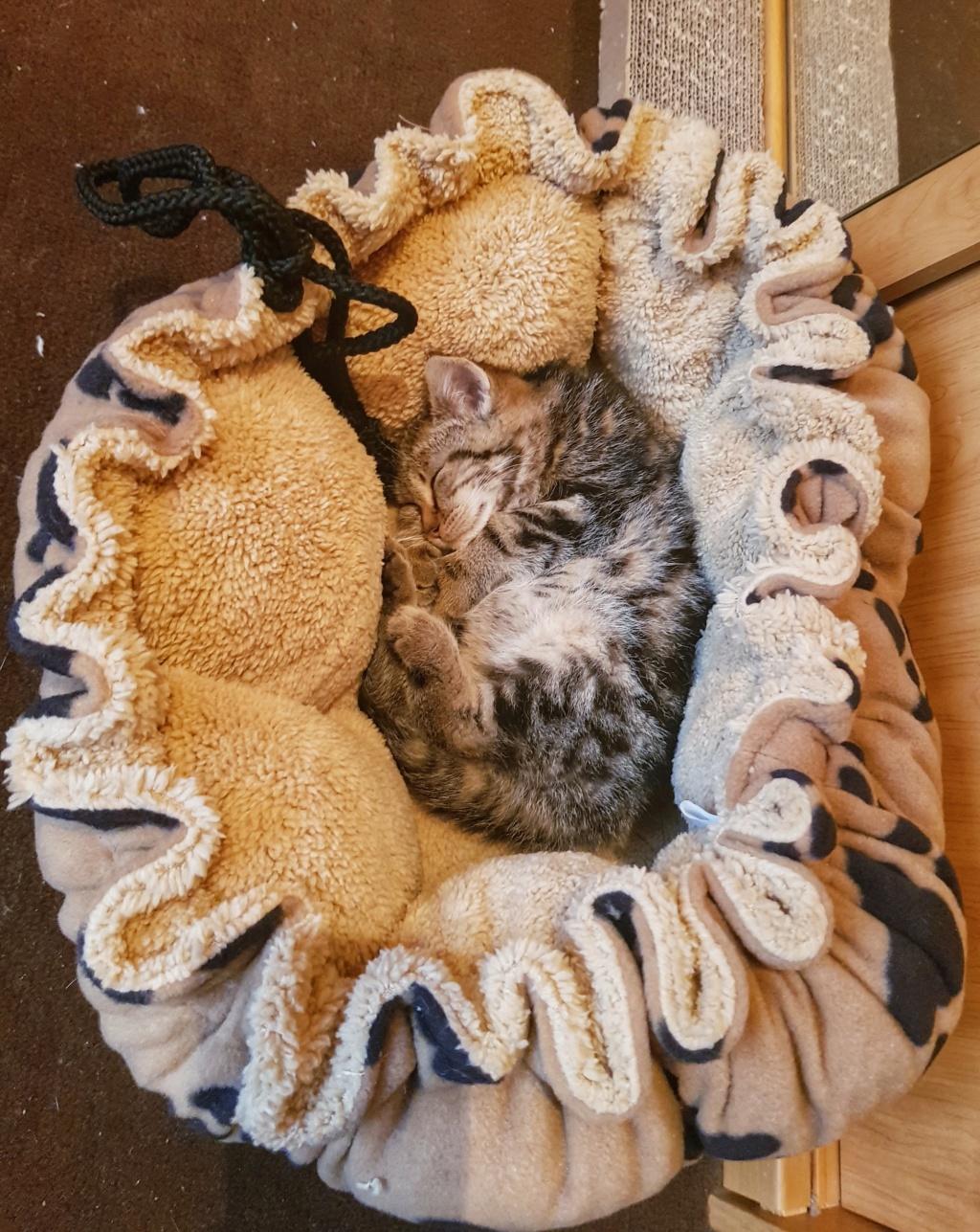 Pompon, femelle type européen tigrée née le 1er octobre 2019 20191119