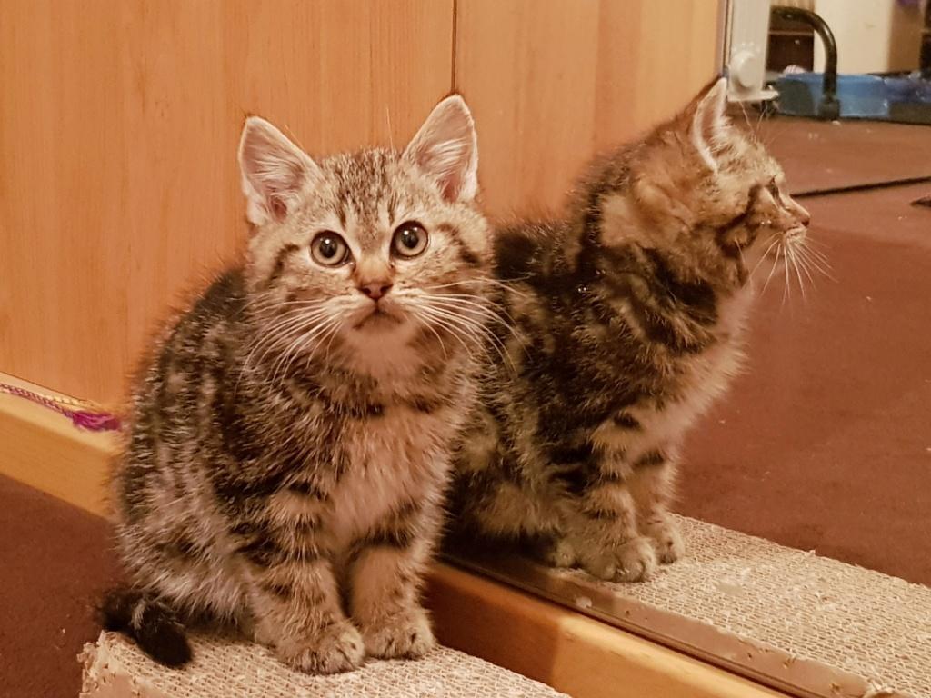 Pompon, femelle type européen tigrée née le 1er octobre 2019 20191120