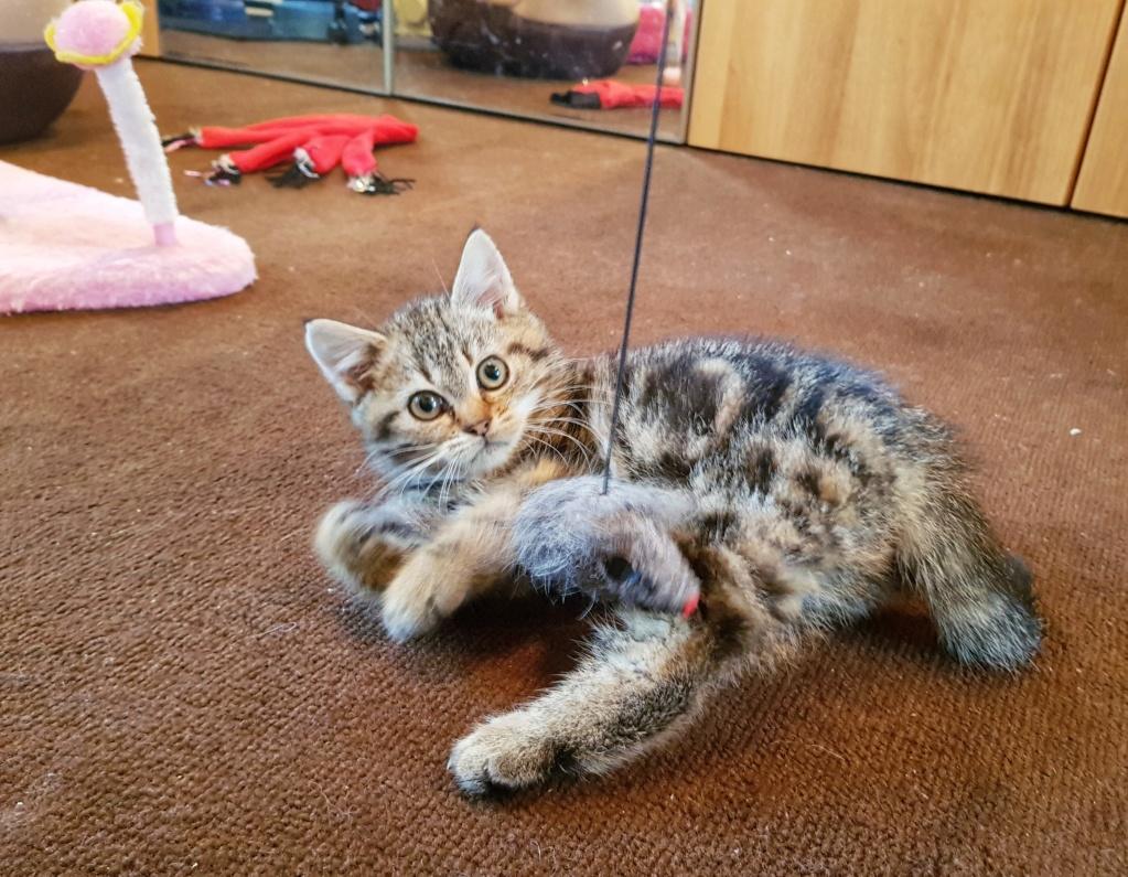 Pompon, femelle type européen tigrée née le 1er octobre 2019 20191121