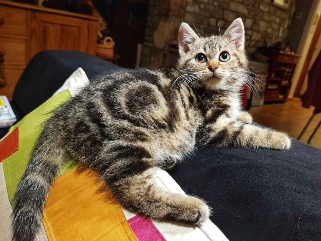 Pompon, femelle type européen tigrée née le 1er octobre 2019 20191124