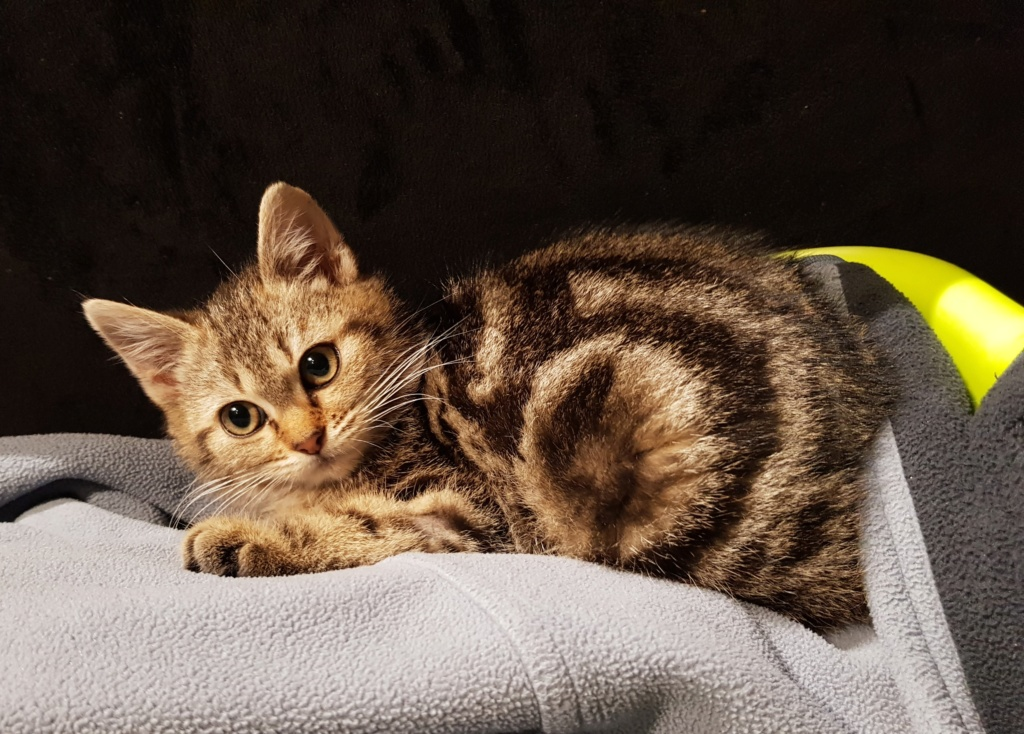 Pompon, femelle type européen tigrée née le 1er octobre 2019 20191213