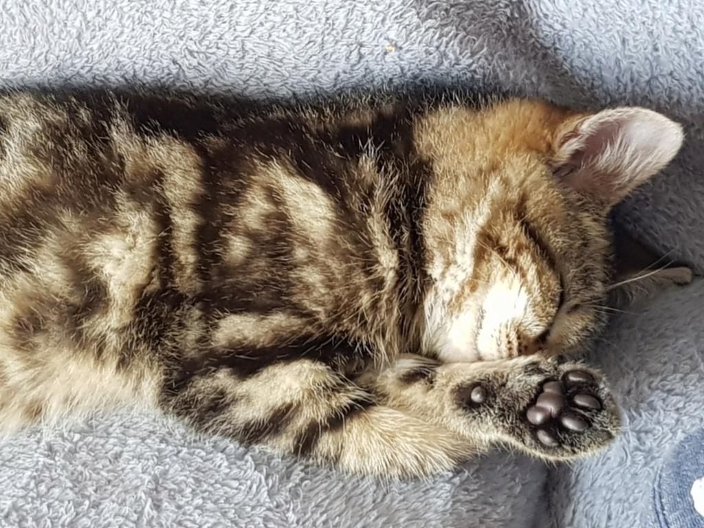 Pompon, femelle type européen tigrée née le 1er octobre 2019 - Page 2 20191238