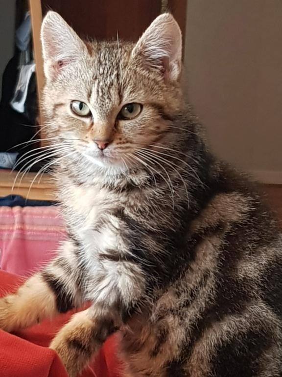 Pompon, femelle type européen tigrée née le 1er octobre 2019 - Page 2 20200121