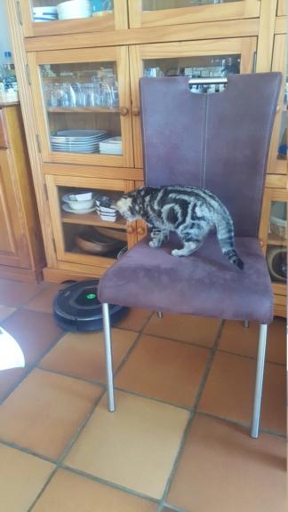 Pompon, femelle type européen tigrée née le 1er octobre 2019 - Page 2 20200126