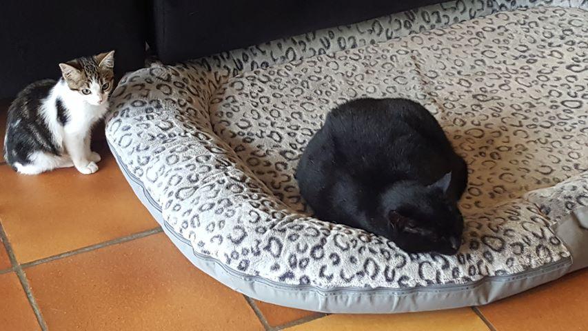 Olga, femelle type européenne tigrée noire et blanche née le 20 septemebre 2018 47505310