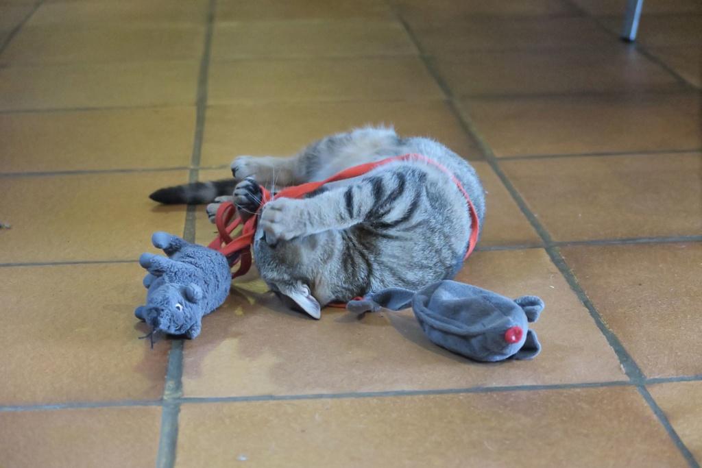 Okapi, femelle type européenne tabby née le 15 août 2018 - Page 3 Img_3218