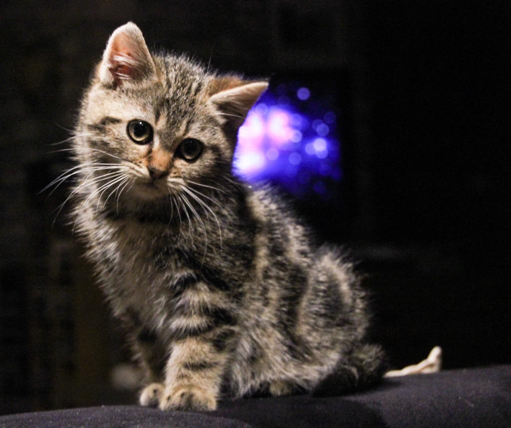 Pompon, femelle type européen tigrée née le 1er octobre 2019 Img_7014