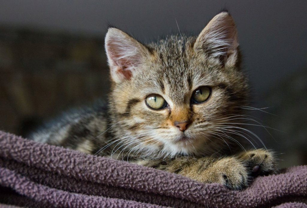 Pompon, femelle type européen tigrée née le 1er octobre 2019 Img_7016
