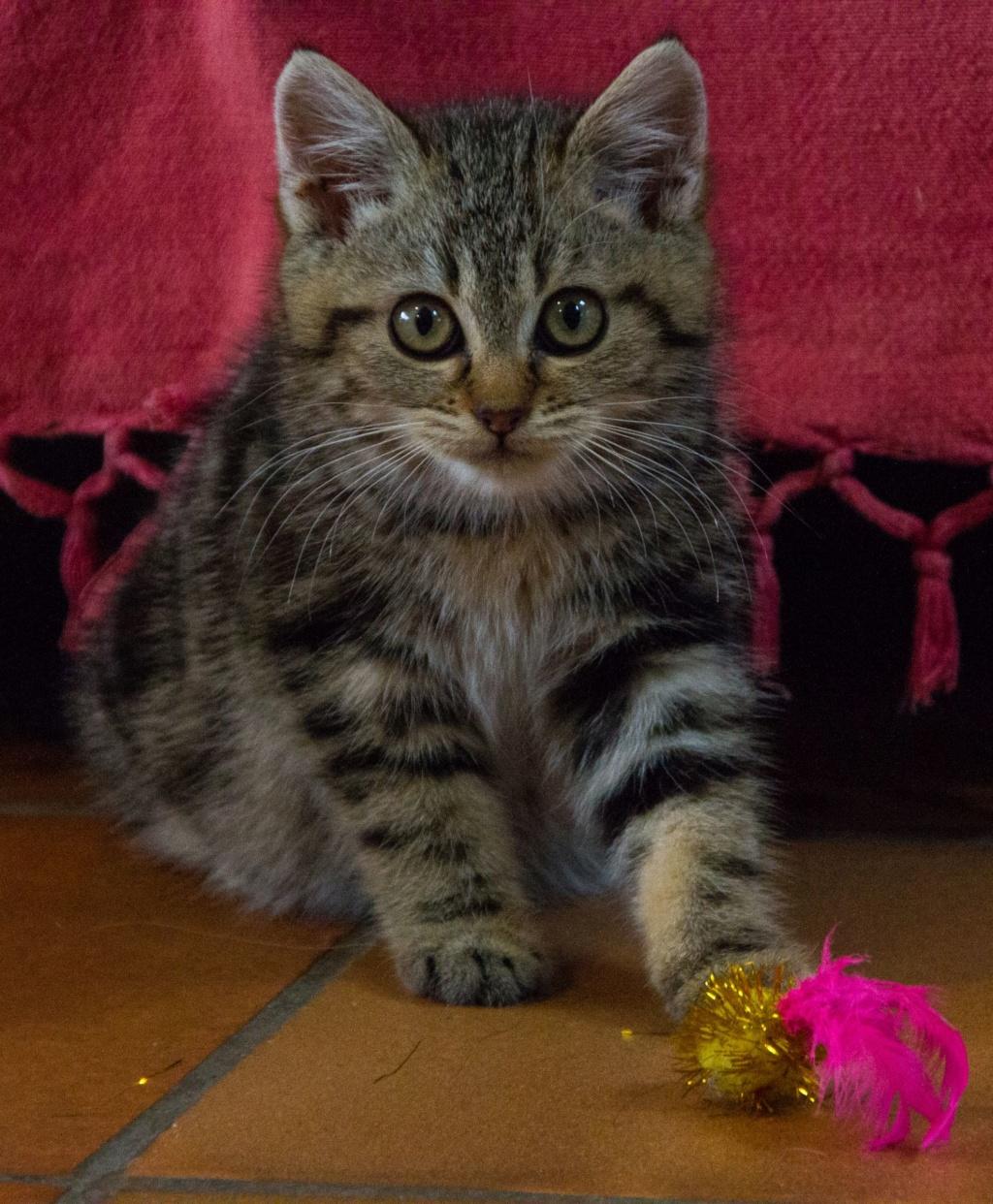Pompon, femelle type européen tigrée née le 1er octobre 2019 Img_7021