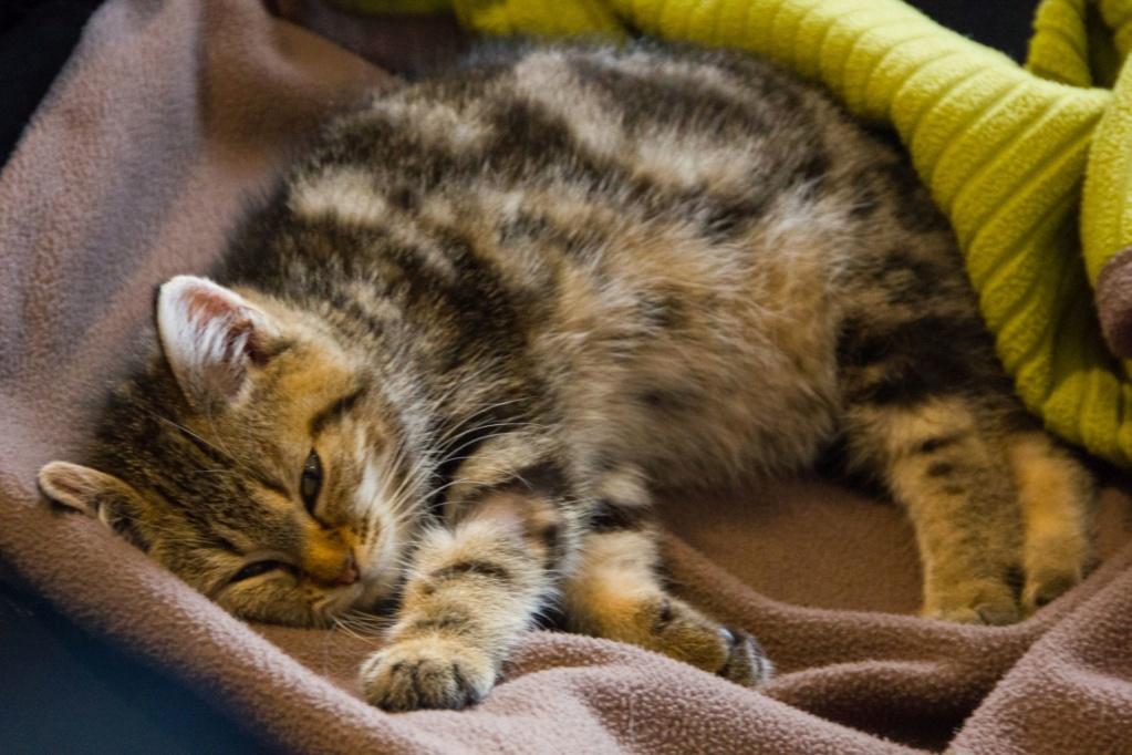 Pompon, femelle type européen tigrée née le 1er octobre 2019 Img_7113