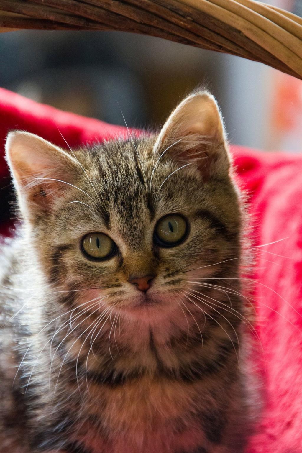Pompon, femelle type européen tigrée née le 1er octobre 2019 Img_7114