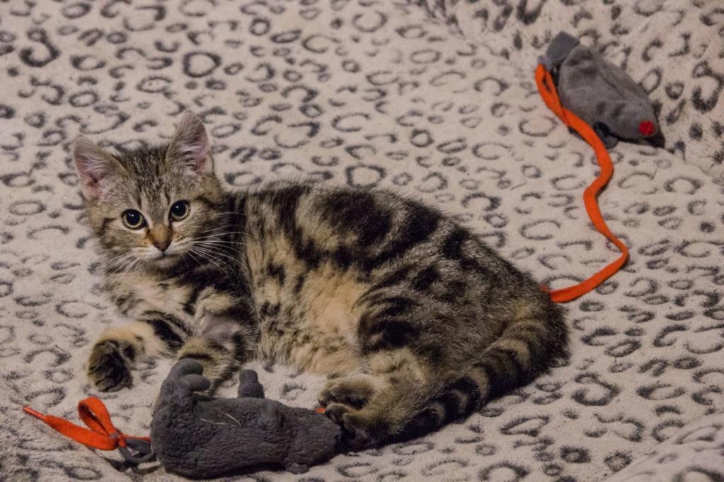 Pompon, femelle type européen tigrée née le 1er octobre 2019 - Page 2 Img_7211