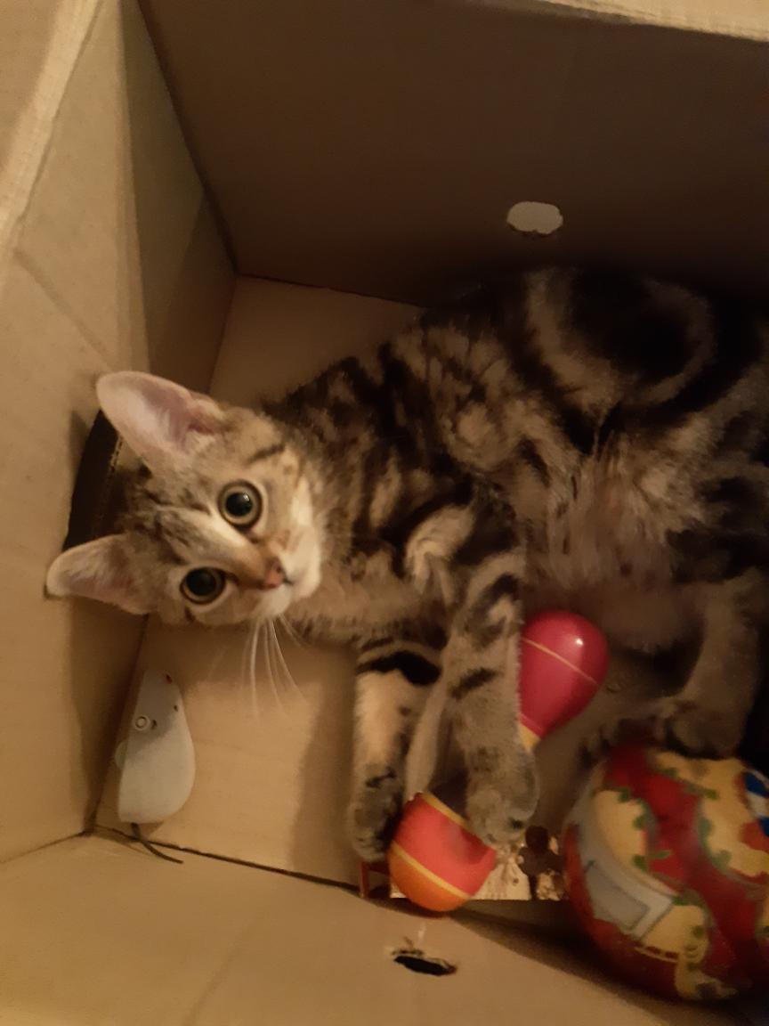 Pompon, femelle type européen tigrée née le 1er octobre 2019 - Page 2 Resize17