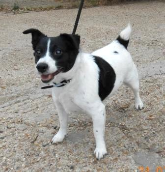 Meet Pudding, male JRT looking for a rescue space SAFE Puddin10