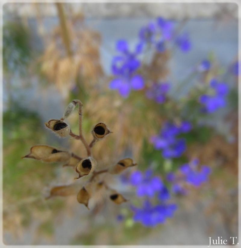 Delphinium annuel ou Pied d'alouette Img_0013