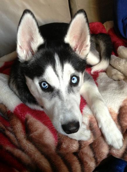 First Husky! Kiara  Img_2710