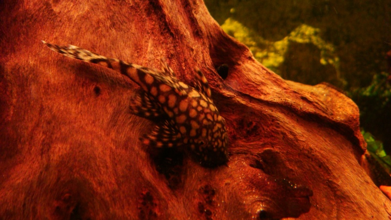 some of my other pleco's Dsc07811