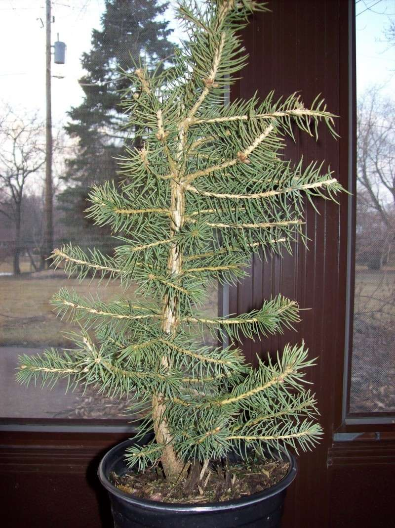 Colorado Blue Spruce-- worth it?  (pics) A_fron10