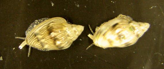 Marginella aequinoctialis - Boyer & Simbille, 2004  Margin11