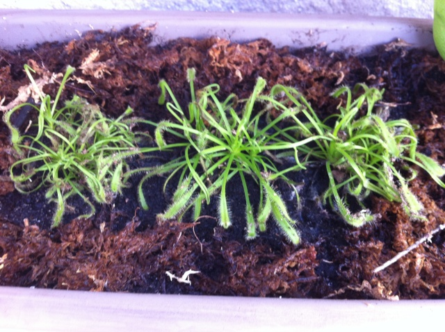 Questions sur ma drosera capensis - Page 3 Img_1415