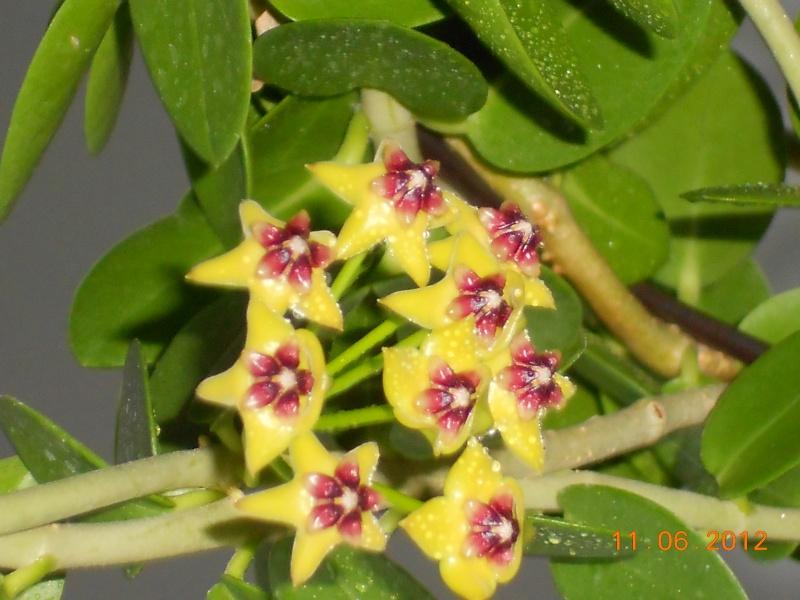 Blüten 2012 Hoya_c14