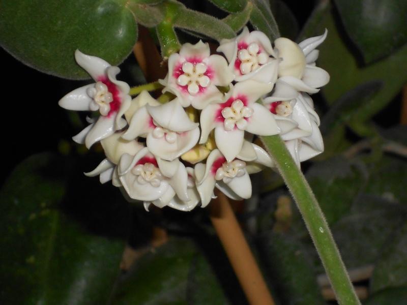 Blüten 2012 Hoya_c15