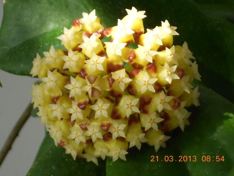 Blüten 2013 Hoya_i12