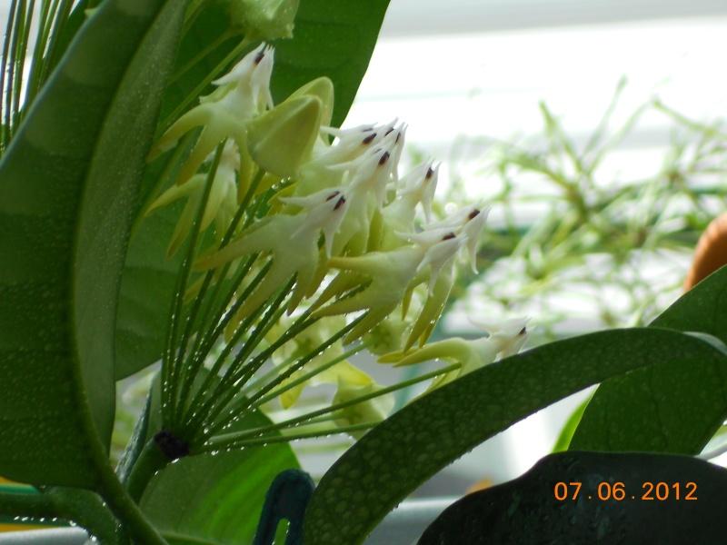 Blüten 2013 Hoya_m10