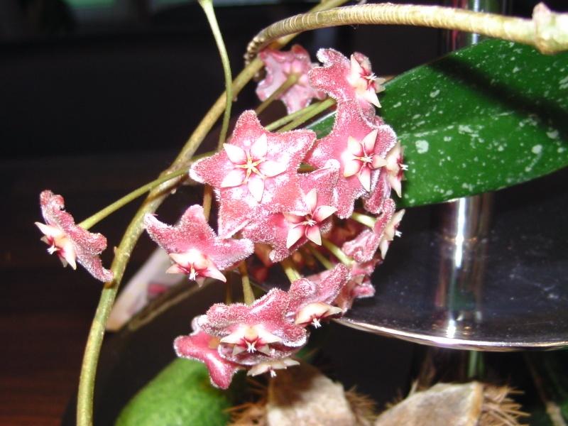 Blüten 2012 Hoya_p10